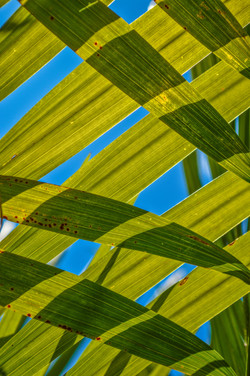 Palm Leaves (2)