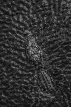 Alligator (8)