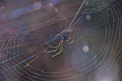 Orchard Spider (3)