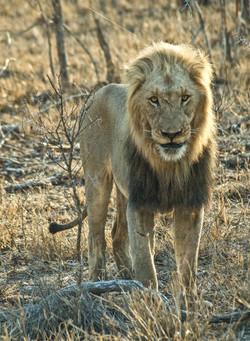 Lion 2-2