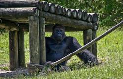Gorilla 3-2
