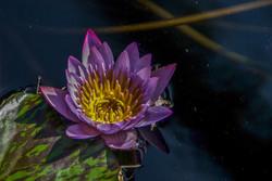 Lotus (5)