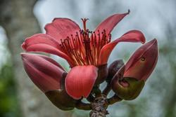 Red Silk Cotton (5)