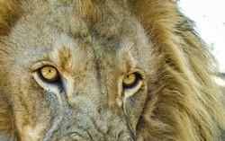 Lion 4-2