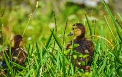 Duckling-2
