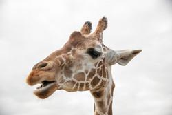 Giraffe 2-2