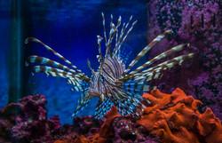 Lion Fish (2)