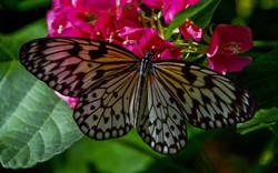 Butterfly (11)