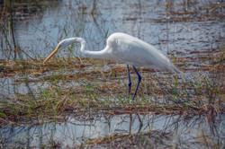 Great White Heron (3)-2