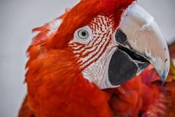 Scarlet Macaw (3)