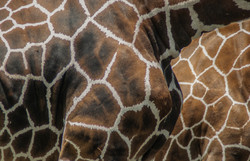Giraffe 3-2