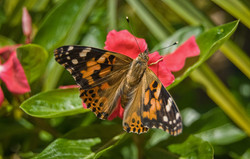 Painted Lady Butterfly (2)