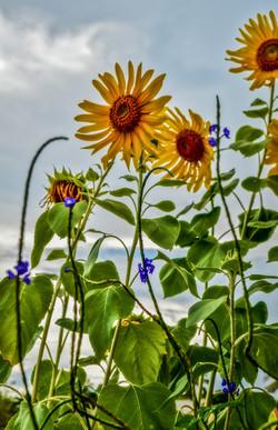 Sunflower (8)