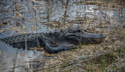Alligator (12)