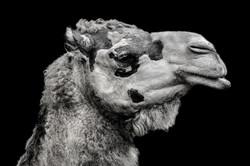 Camel-2