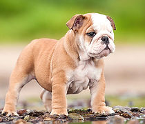 bulldog-ingles-3.jpg