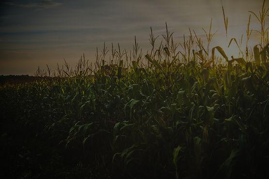 cereal-corn-crop-1382102_edited.jpg