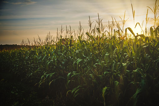 cereal-corn-crop-1382102.jpg