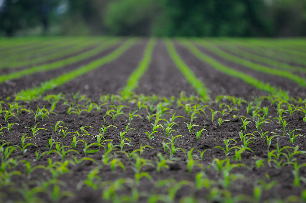 corn plant-sprout.jpg