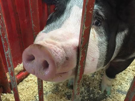 KY State Fair - Sheep, Pigs & Deep-Fried Twinkies, oh my!