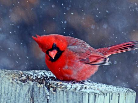 The Kentucky Cardinal - More than Just a Mascot.