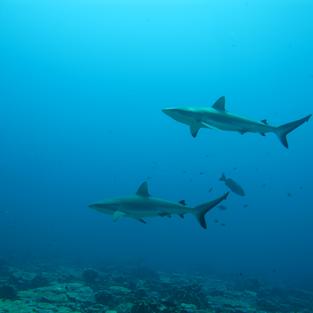 Social grey reef sharks at Palmyra Atoll