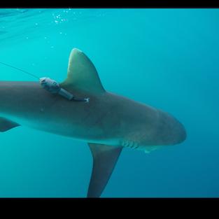 Grey reef shark carrying miniPAT tag