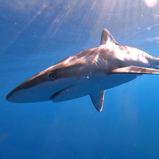 Silvertip shark tagged with acoustic transmitter