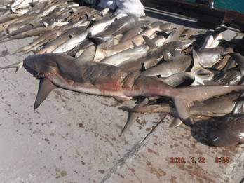 Sharks seized from an IUU vessel
