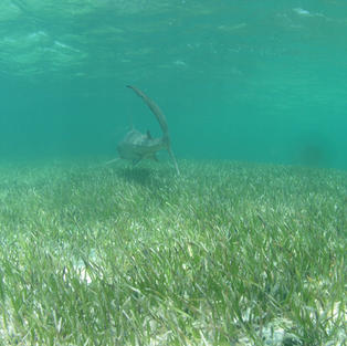 Tagged tigershark over seagrass, Bimini, Bahamas