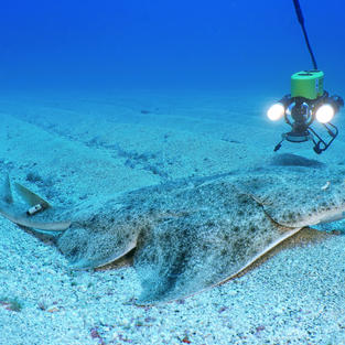 ROV monitoring an acoustically tagged Angelshark
