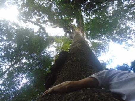 Você sabia que existe um Jequitibá Milenar a menos de 100 km da capital Rio de Janeiro?