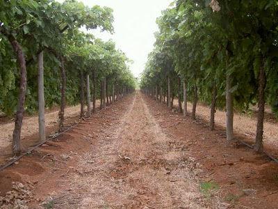 Triggs vineyard