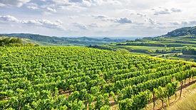 vineyard image 2.jpg