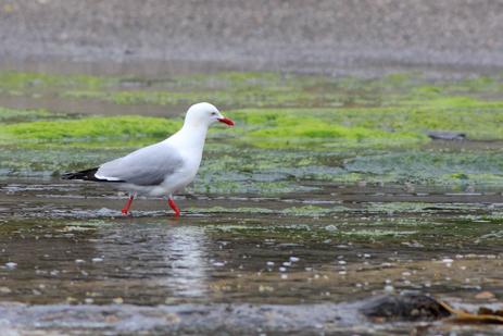 Seagull Walking