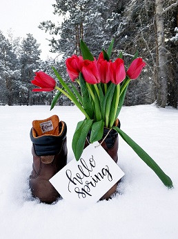 Boots filled with tulips in the snow
