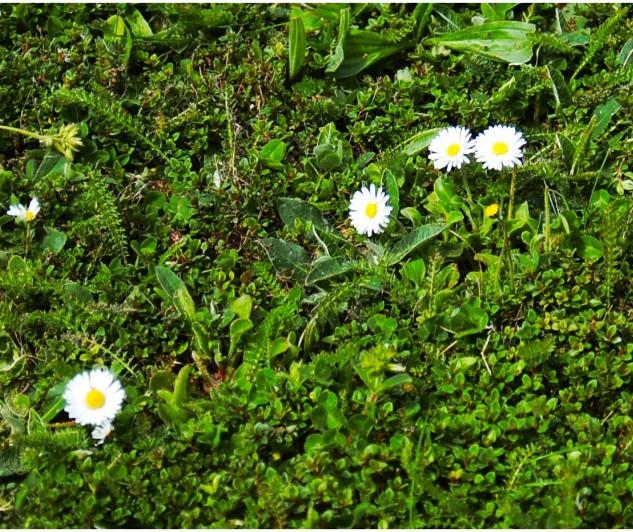 Versailles Grass