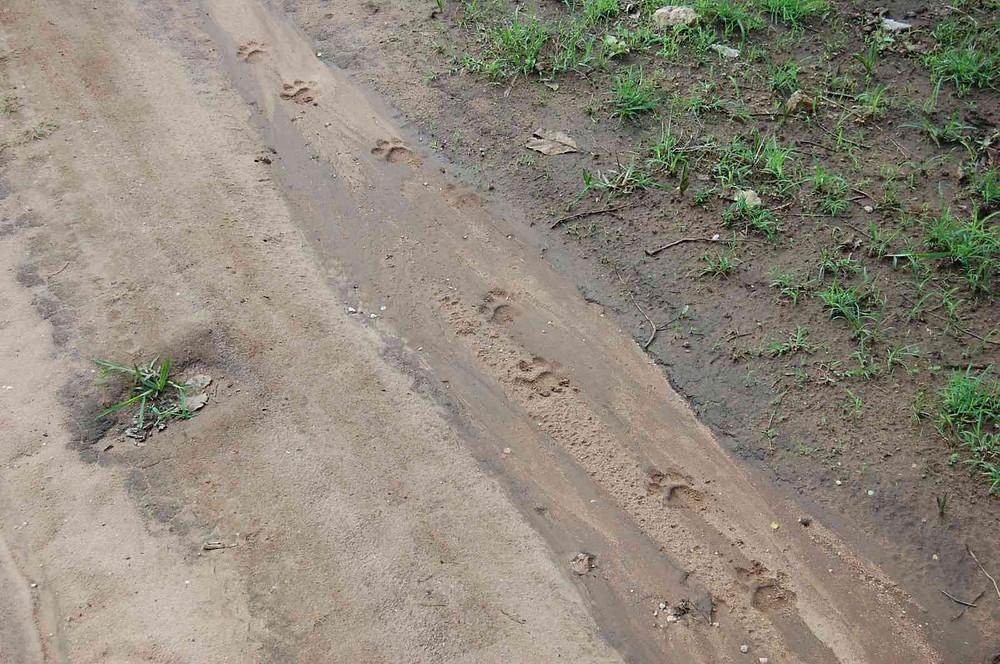 pugmark Jeep track