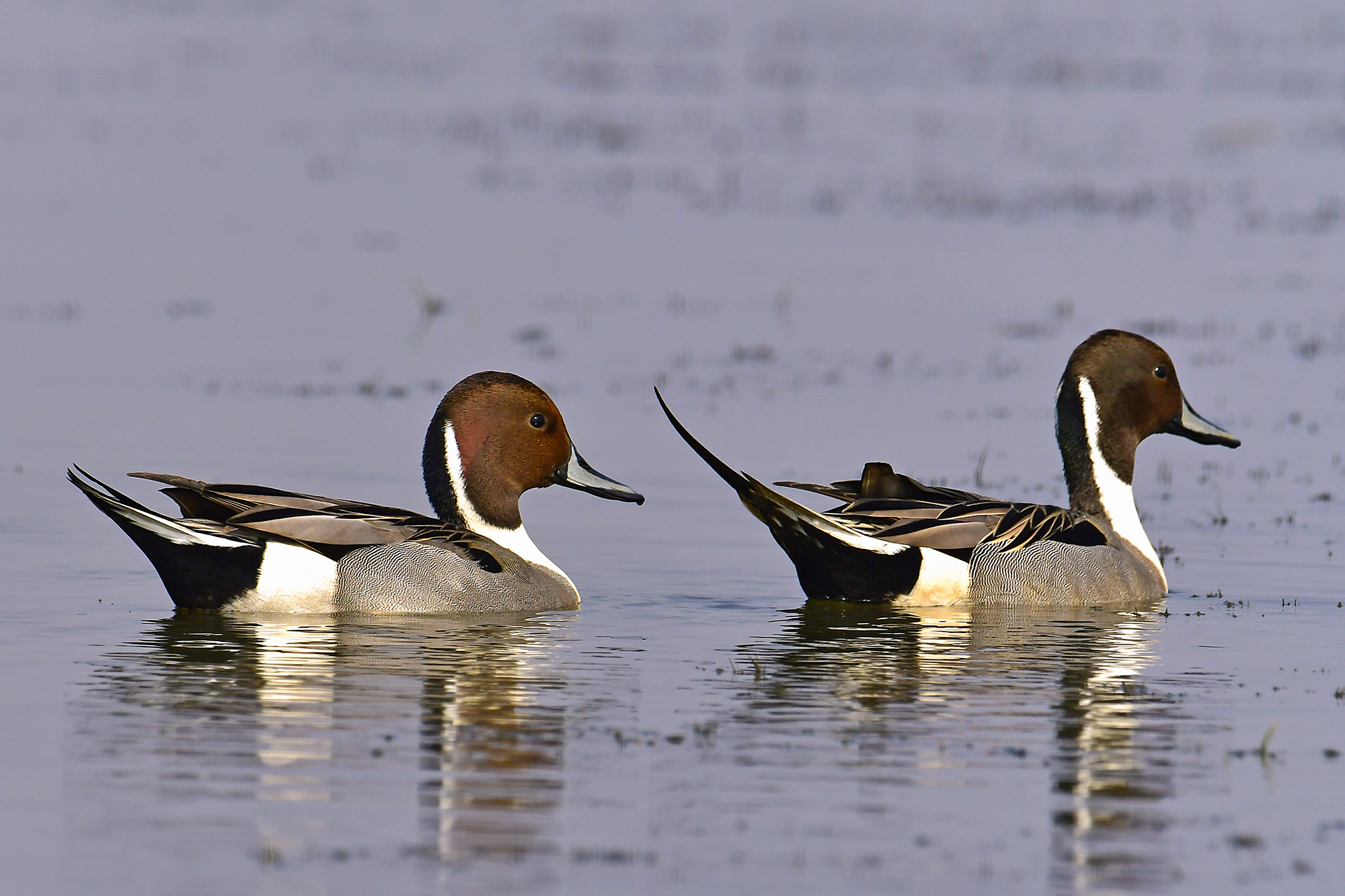 Northern Pintail @dkinwild