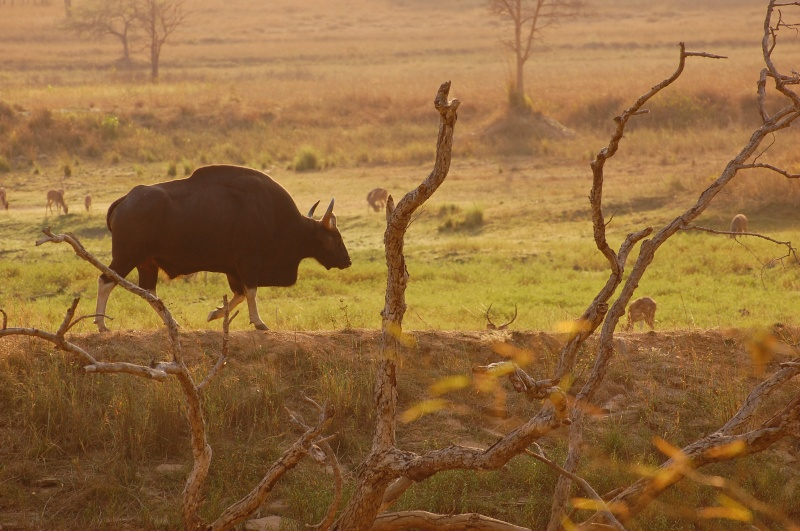 Indian Gaur @dkinwild