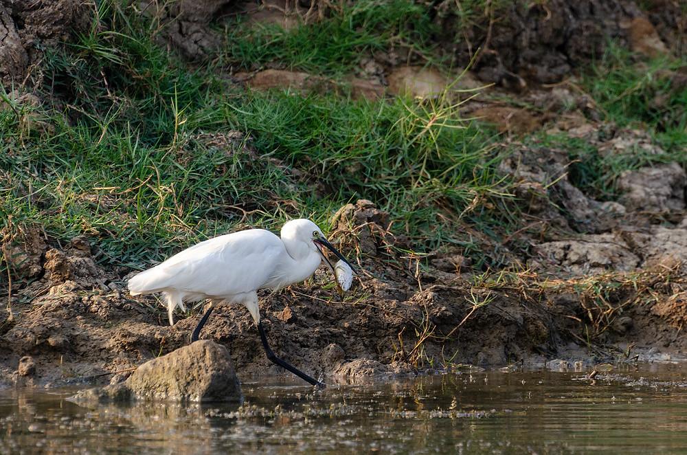 Little Egret Catch