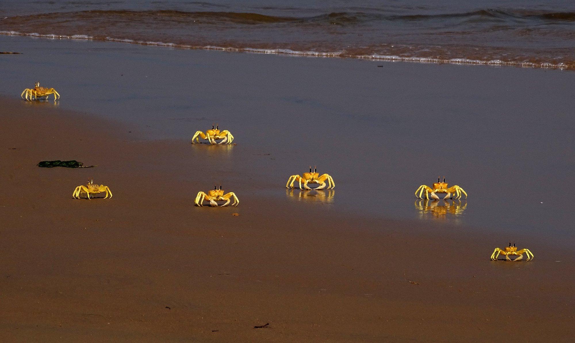 Ghost Crab, Odisha @dkinwild