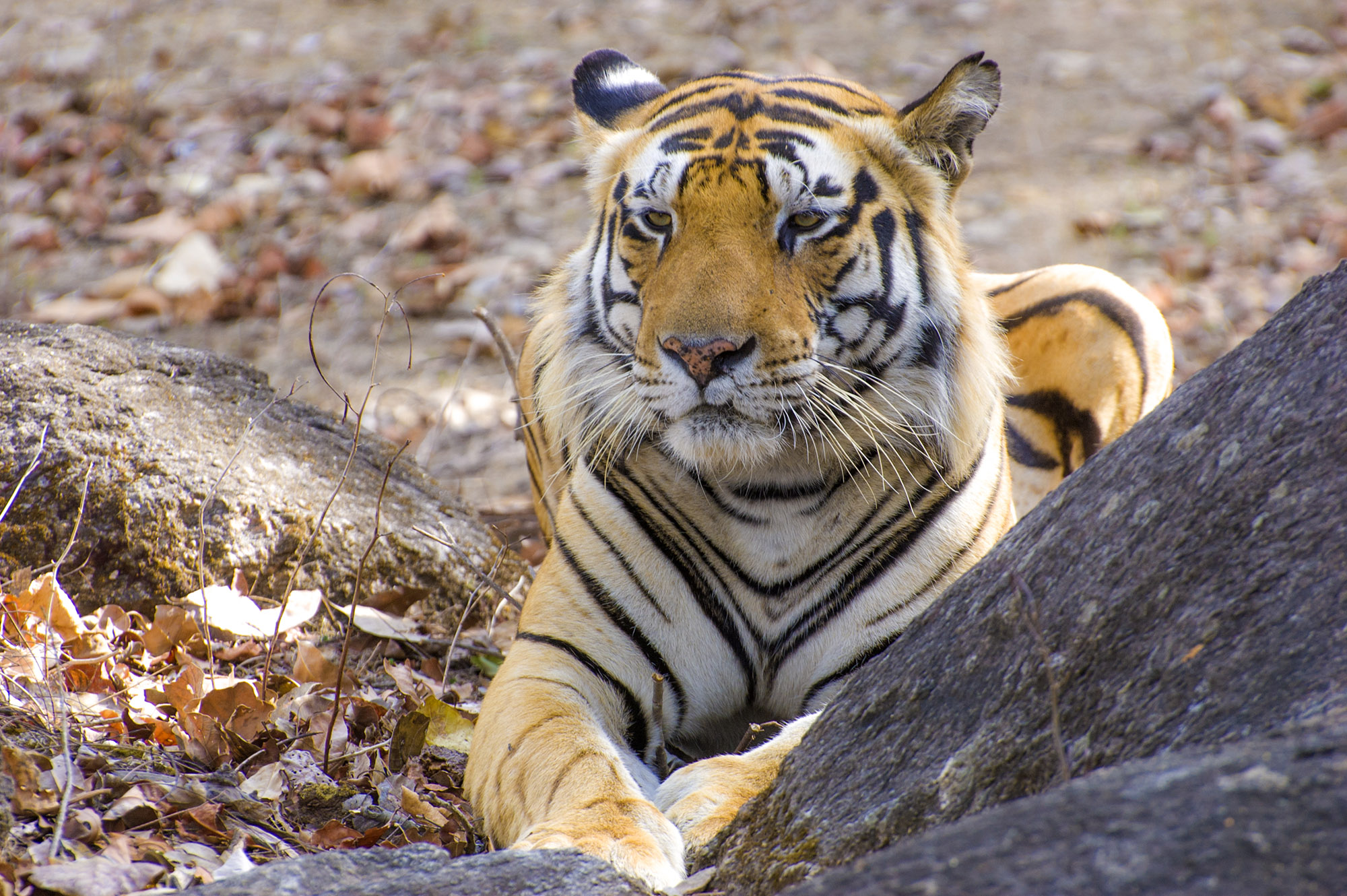 Tiger in Kanha @dkinwild