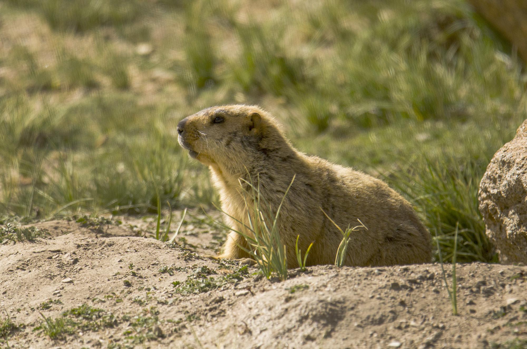 Himalayan Marmot @dkinwild