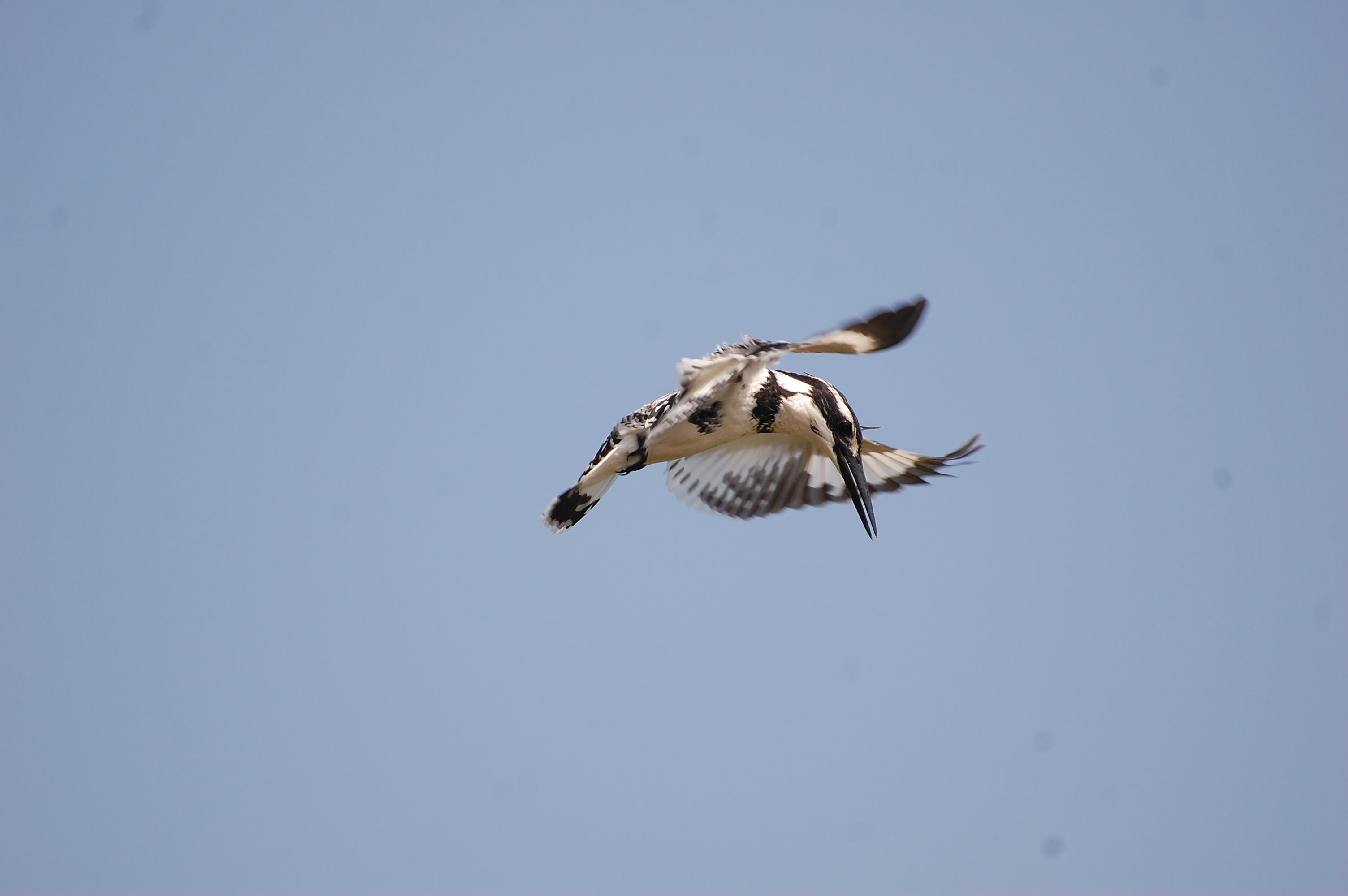 Pied Kingfisher @dkinwild