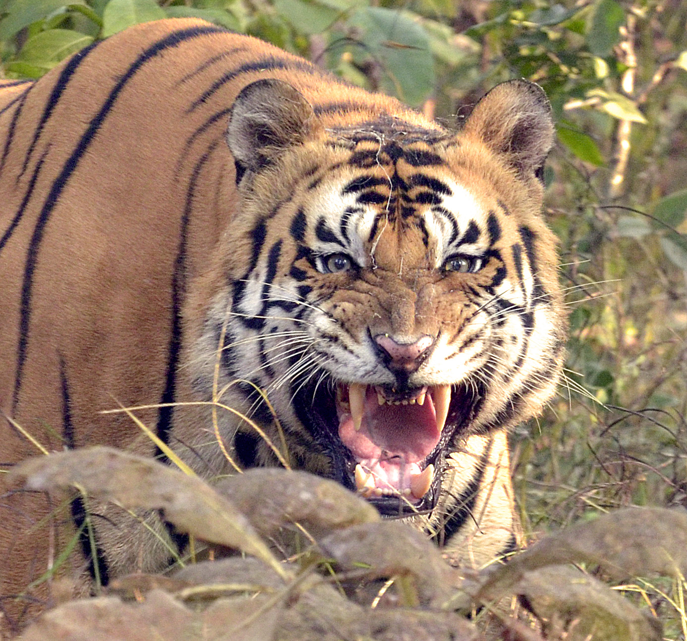 Snarling Tiger @dkinwild