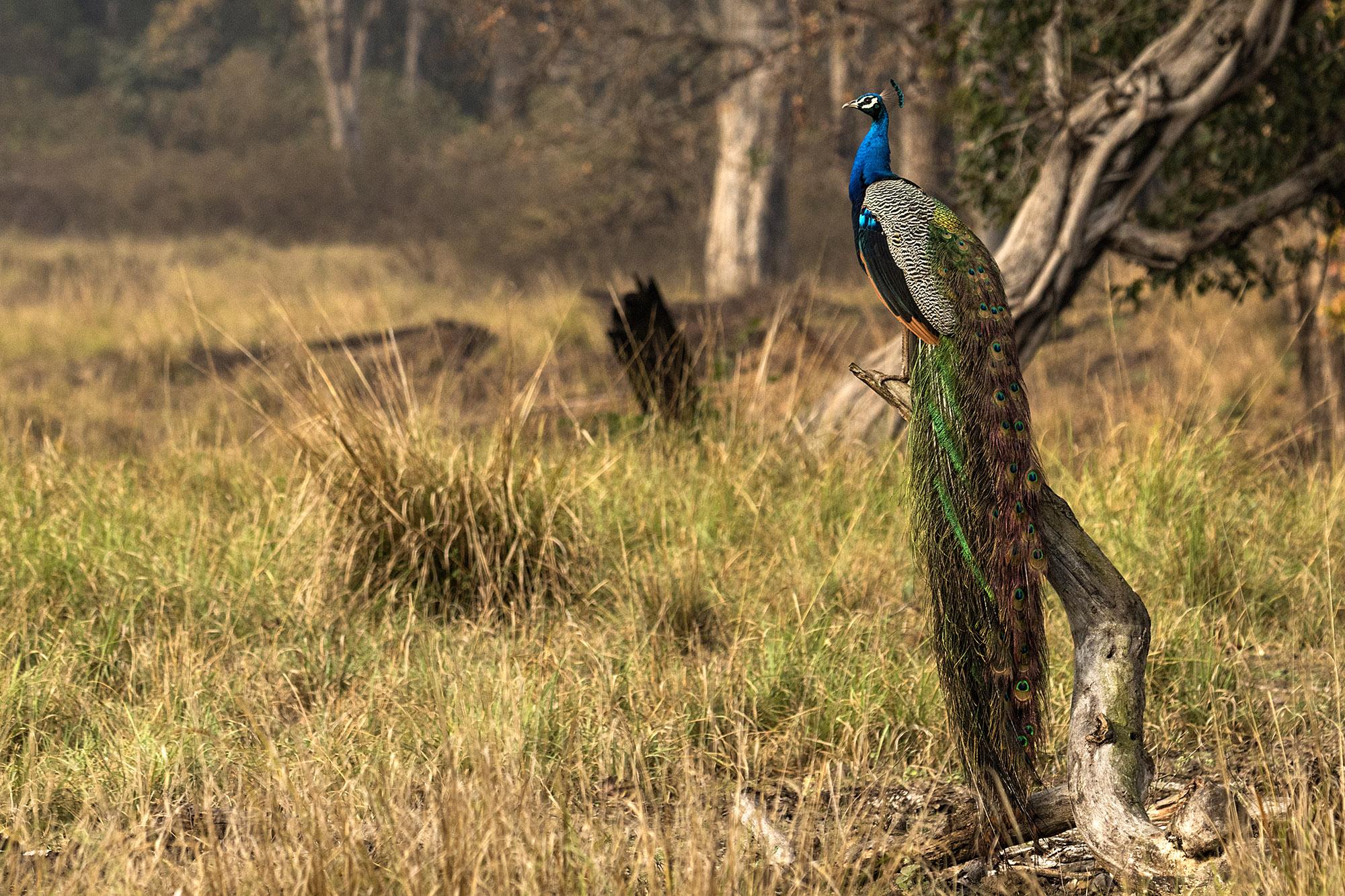 Peacock @dkinwild