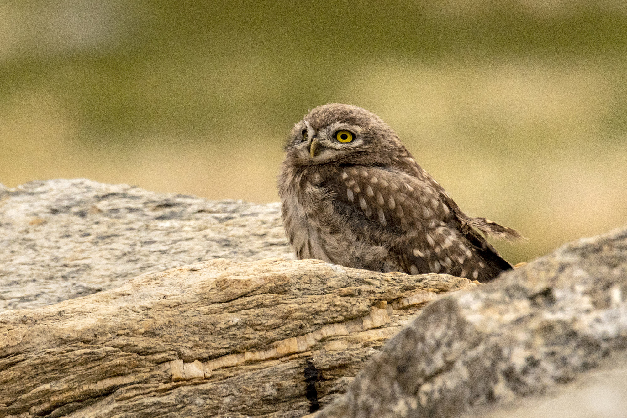 Little Owl @dkinwild