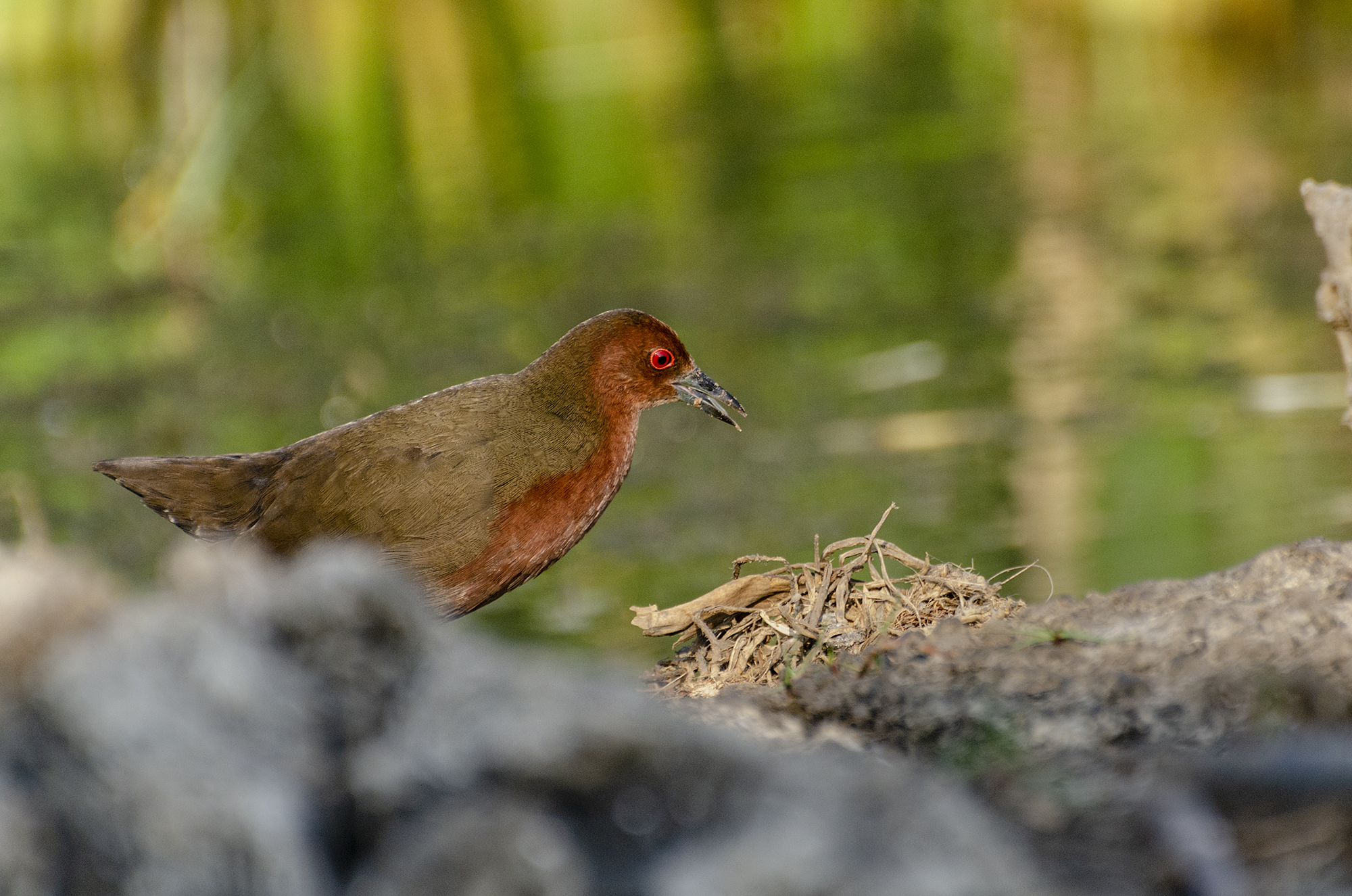 Ruddy breasted Crake @dkinwild
