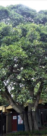 White Fig